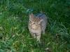 unschuldige Wildkatze