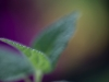 Samtige Blätter - Alex P.
