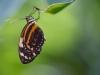 Fam Nymphalidae