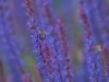 Lavendelzauber