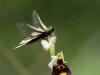 Schmetterlingshafte Libelle