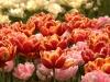 Tulpen -Keukenhof- Holland