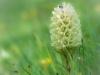 Strauß - Glockenblume