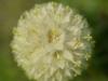 Strauß-Glockenblume
