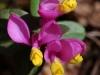 buchs-kreuzblume
