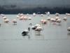 flamingos-karin-bellutti