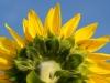 Barbara B. - Sonnenblume