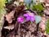 Alex P. - Leberblümchen in Pink