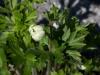 edeltraud_anemone