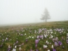 Krokusblüte im Nebel - Alex P.