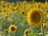 10-sonnenblumen2-edeltraud