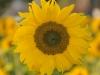 11-sonnenblumen3-edeltraud