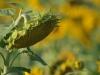 9-sonnenblumen1-edeltraud