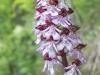 Orchidee - Alex P.