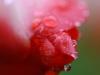 Tulpe mit Tropfen - Ursula P.