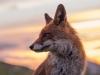 Fuchs sagt Gute Nacht, Umbrien