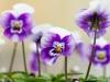 Blütenwald, Ursula