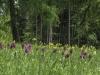 Dactylorhiza sambucina - Holunder-Fingerwurz - Orchidaceae  - Hans Madl