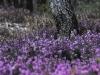 Erica carnea - Schnee-Heide - Ericaceae - Hans Madl