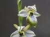 Ophrys montis-leonis oder arachnitiformis ssp.tyrrhena - Monte Leonis oder Tyrrrhenische Ragwurz -Albino -  Orchidaceae - Hans Madl