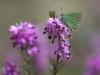 Callophrys Rubi grüner Zipfelfalter, Annamaria Pernstich