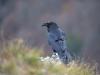 il re dei corvi corvo imperiale, valter pallaoro