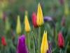 tulpen-im-morgentau_monika_g