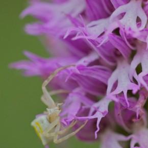 Orchideen der Toskana - 2 Teil