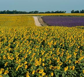 Farbe Lila in Südfrankreich-Provence