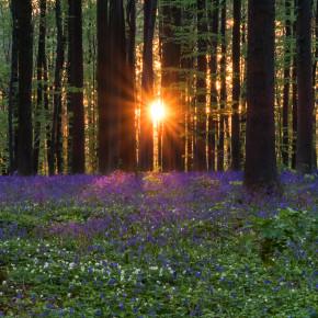Hallerbos - der Märchenwald