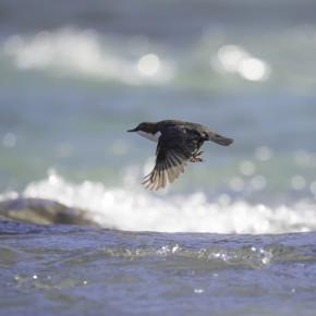 Ein Vogel, der schwimmt + taucht: DIE WASSERAMSEL